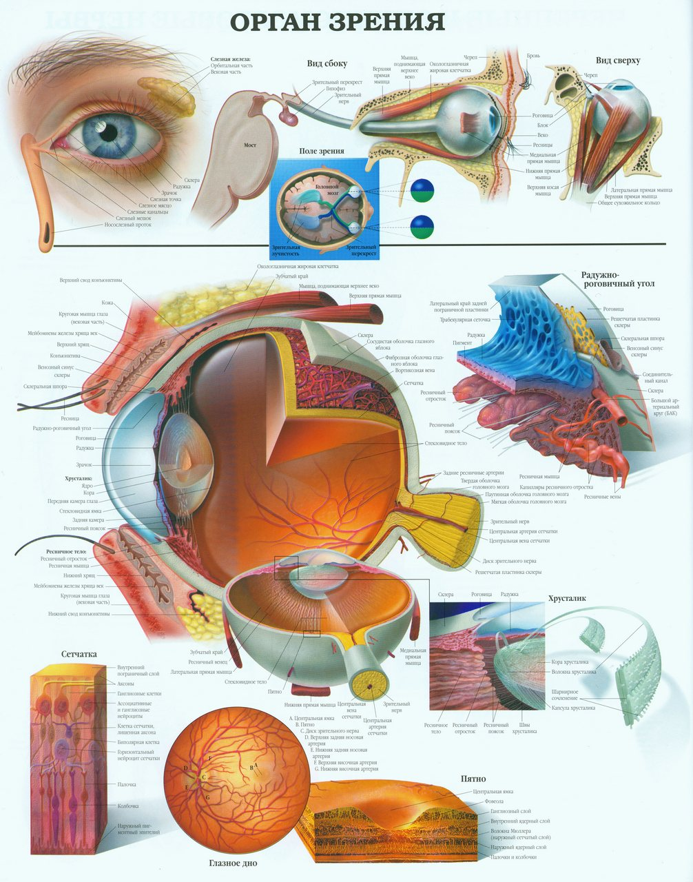 the anatomy of the eye and